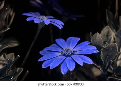 Daisies in false-color reflected UV.