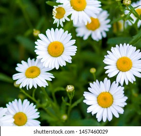 Daisies in a field with grass, Wonderful fabulous daisies on a meadow in summer. White daisies