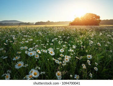 Daisies in the field near the mountains. Meadow with flowers at sunrise.