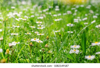 daisies field in spring