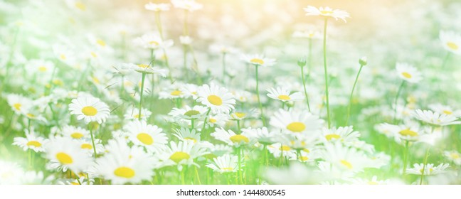 Daisies in the field. Summer bright landscape with beautiful wild flowers camomiles. Panorama with daisy wildflowers.