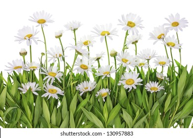 Daisies floral summer meadow fragment macro isolated with patch