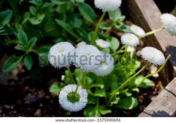 Daisies in a flower bed
