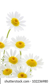 Daisies flower in white background