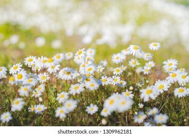 Daisies flowers (Bellis perennis) bokeh