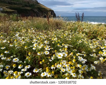 Daisies and flowers in Clarach Bay near Aberystwyth in Wales