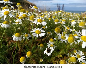 Daisies and flowers in Clarach Bay near Aberystwyth in Wales, July 2018.