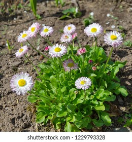 Daisies flowers (lat. Bellis perennis) in bloom in the garden