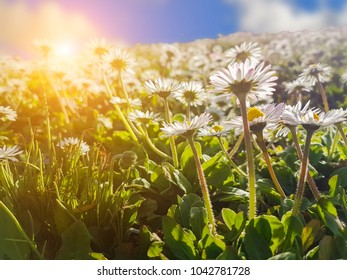 daisies flowers in  spring green lawn  for nature background