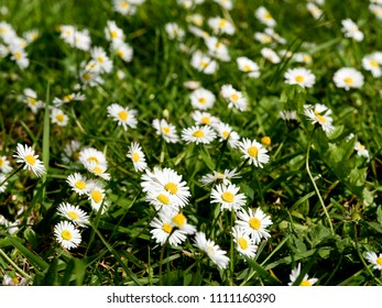 Daisies in grass - differential focus