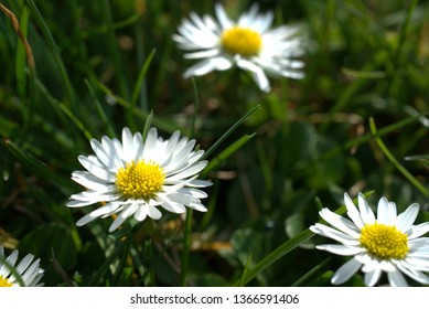 Daisies in the grass in the sunlight