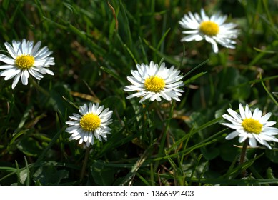 Daisies in the grass in sunshine