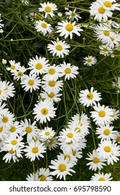 Daisies grouped together in a garden