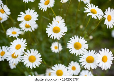daisies grow in the garden