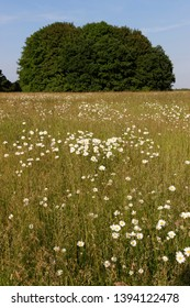Daisies growing in a meadow with oak trees in the distance Oakley Hampshire