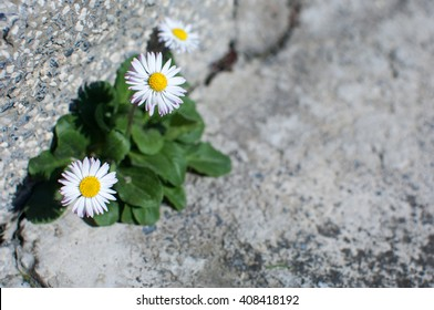 Daisies growing on a stone wall - symbol of strenght.