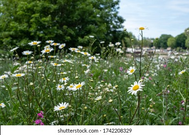 Daisies growing wild in the grass in a field over looking the River Thames, next to Battersea Bridge, London UK