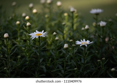 Daisies in late afternoon light.