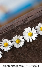 Daisies in a line on dark wooden plank; Spring greetings; Decoration with meadow flowers