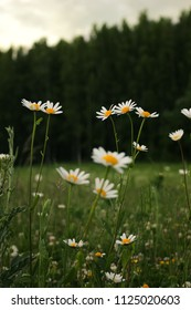 Daisies in the meadow with greenish filter