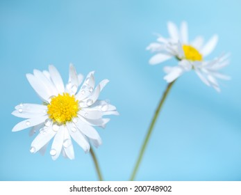 Daisies on blue background. Floral background.