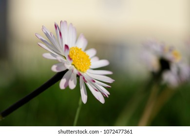 Daisies on a green meadow in spring in Maisach