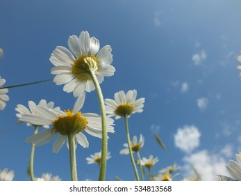 Daisies on sky background