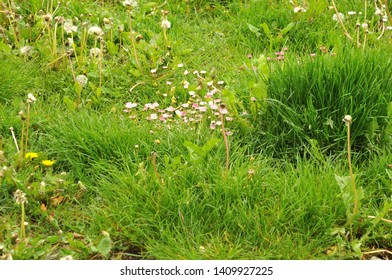 daisies with pink and white ray florets and seed heads of dandelions in uncultivated meadow