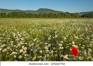 Daisies and poppies in the field near the mountains. Meadow with flowers at sunrise.