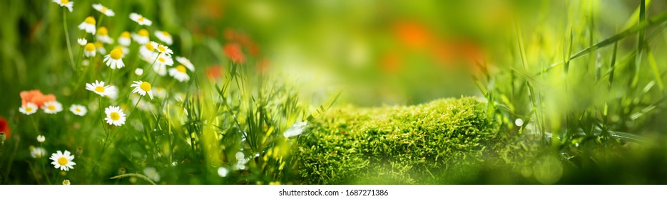 Daisies and poppies on sunny spring meadow. Horizontal close-up with short deep of focus. Natur background concept for leisure and ecology with space for text and design.