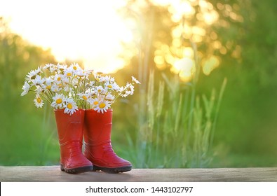daisies and rubber red boots. Gardening concept with flowers and grass in boots. Beautiful bunch of summer flowers chamomile and rubber boots. summer time. copy space
