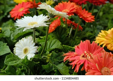 Daisies for sale in a greenhouse