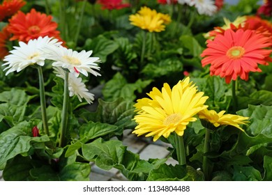Daisies for sale at a Greenhouse