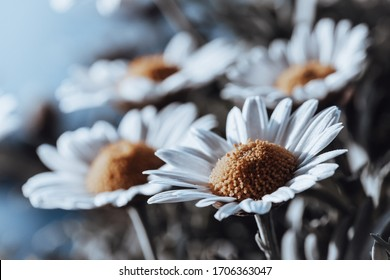 Daisies in a soft blue background composition