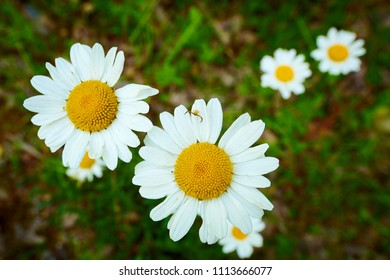 Daisies with Spider