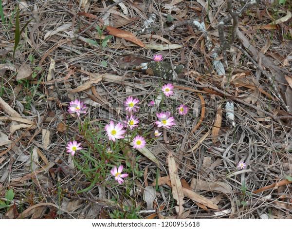 Daisies Stirling Range National Park Western Australia