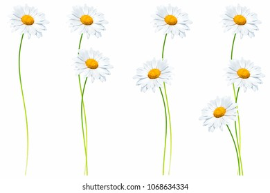 daisies summer white flower isolated on white background