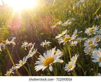 Daisies and sunlight - Shutterstock ID 712593016