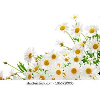 Daisies. White Chrysanthemum Flower. Bouquets of blossom