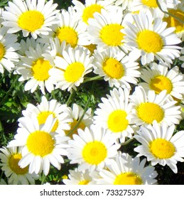 Daisies in the wild.