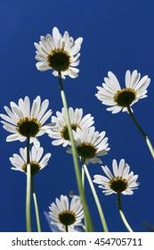daisies wild flowers field