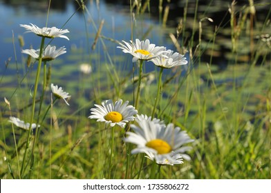 Daisies in the Wind, Lakeside