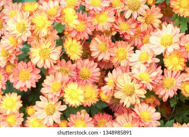Daisy backgrounds.High Angle View Of colorful Flowers Blooming On Field