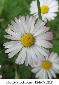 Daisy (Bellis perennis) - white petals with a rosy touch and yellow heart