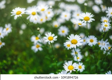 Daisy bloom after raining. Romantic wild field of daisies with focus on one flower. Oxeye daisy, Leucanthemum vulgare, Daisies, Dox-eye, Common daisy, Camomile, Chamomile.