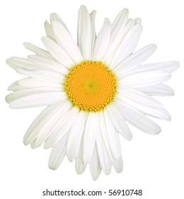 Daisy bloom isolated on white