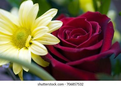 A daisy bloom near a deep red rose blossom