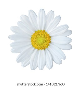 Daisy blossom close up isolated agains white background
