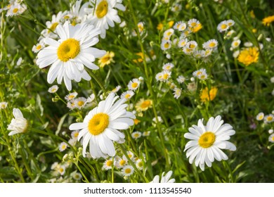 Daisy blossoms (Leucanthemum vulgare) on a meadow