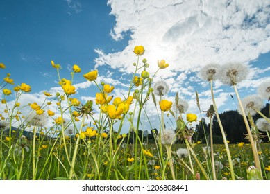 Daisy with blowball on meadow in Bavaria